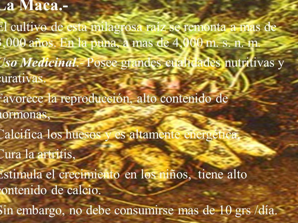 La Maca.- El cultivo de esta milagrosa raíz se remonta a mas de 3,000 años. En la puna, a mas de 4,000 m. s. n. m.