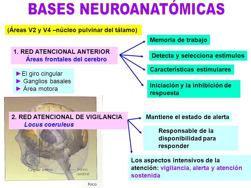 BASES NEUROANATÓMICAS