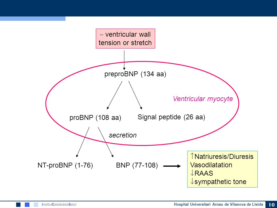 ventricular walltension or stretch. preproBNP (134 aa) Ventricular myocyte. proBNP (108 aa) Signal peptide (26 aa)