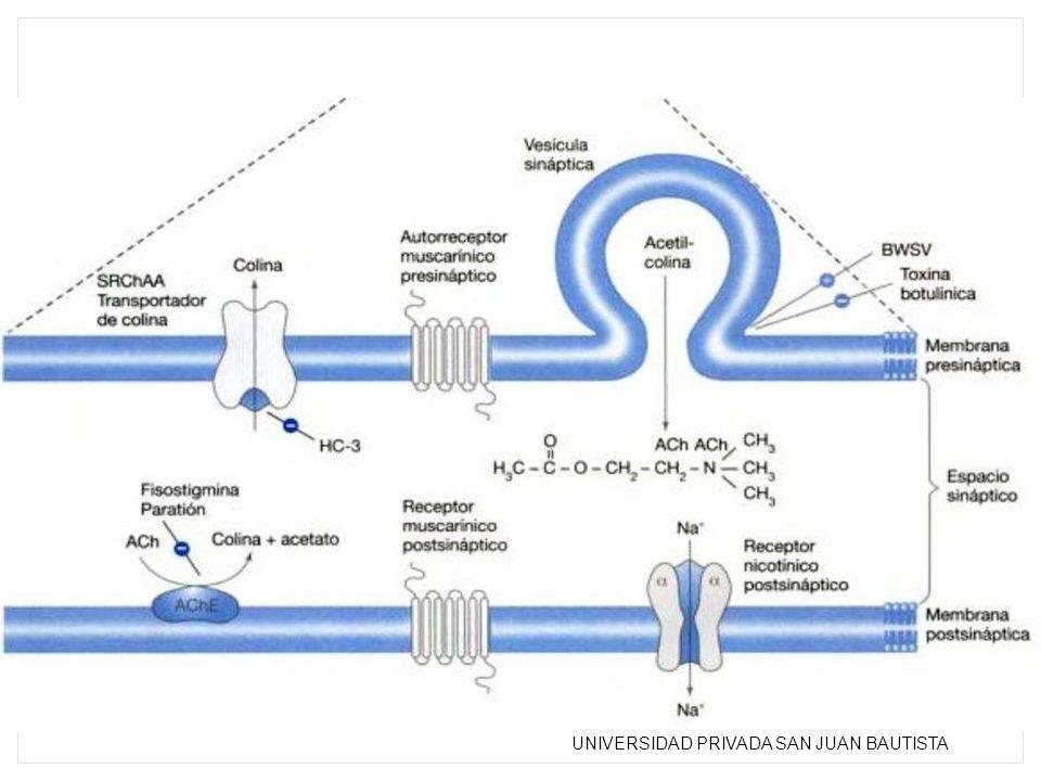 Esquema de sinapsis colinérgica en la que se aprecia procesos de síntesis, metabolismo, captación vesicular, recaptación presináptica, y activación de receptores pre y potsinápticos.