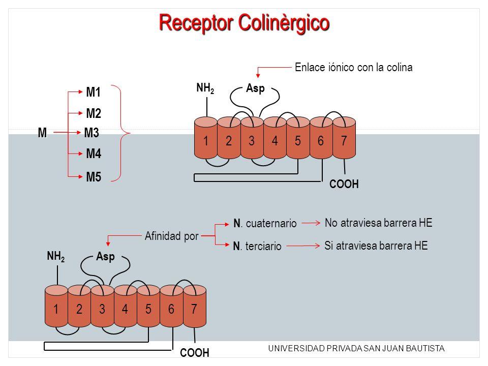 Receptor Colinèrgico M1 M2 1 2 3 4 5 6 7 M M3 M4 M5 1 2 3 4 5 6 7