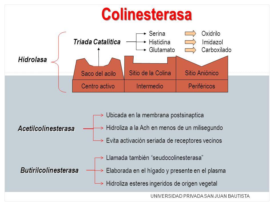 Colinesterasa Triada Catalítica Hidrolasa Acetilcolinesterasa