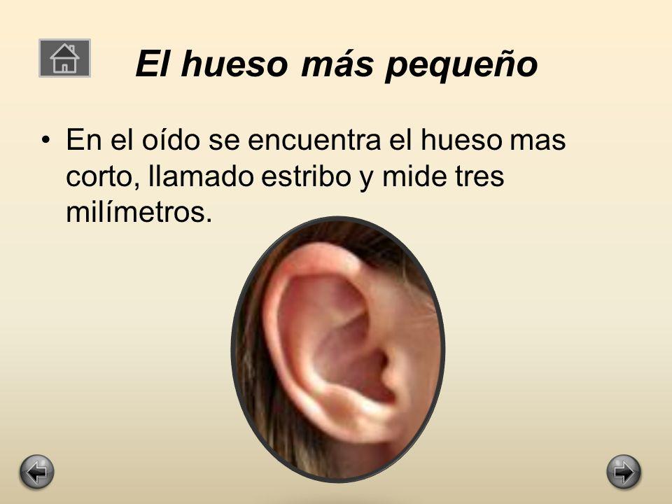 El hueso más pequeño En el oído se encuentra el hueso mas corto, llamado estribo y mide tres milímetros.