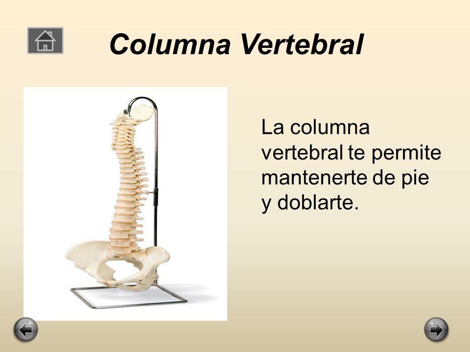 Columna Vertebral La columna vertebral te permite mantenerte de pie y doblarte.