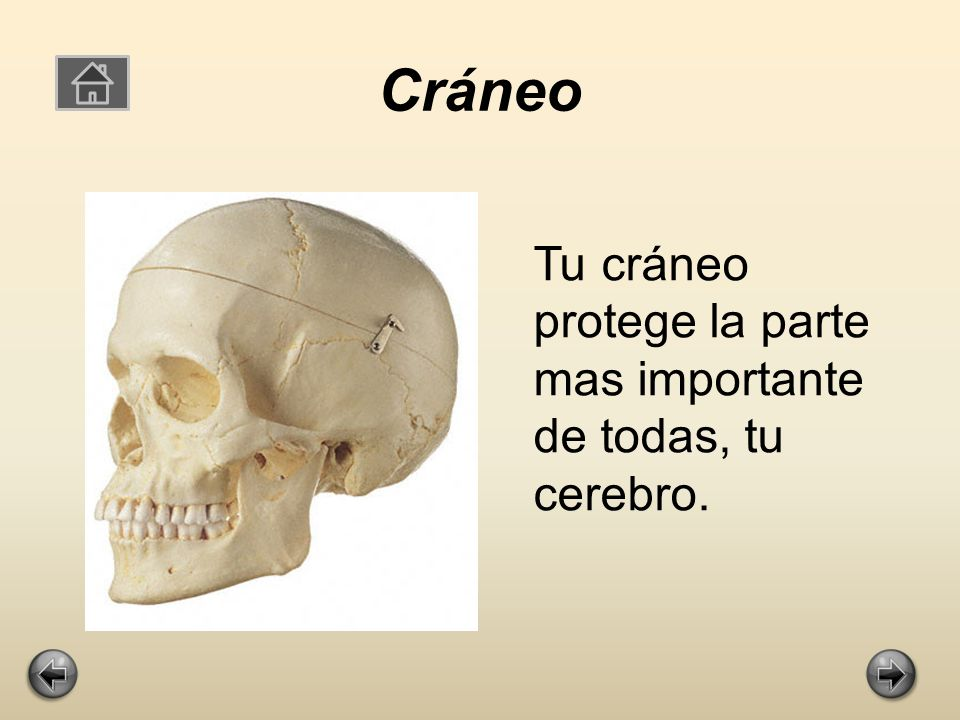 Cráneo Tu cráneo protege la parte mas importante de todas, tu cerebro.