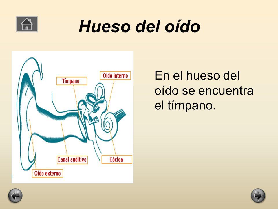 Hueso del oído En el hueso del oído se encuentra el tímpano.