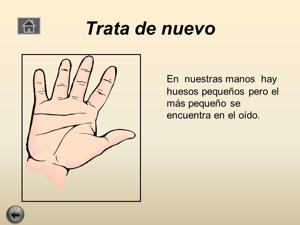 Trata de nuevo En nuestras manos hay huesos pequeños pero el más pequeño se encuentra en el oído.