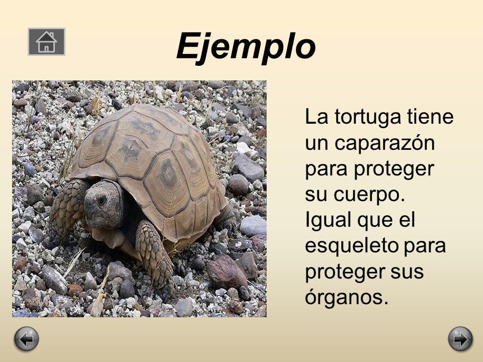 Ejemplo La tortuga tiene un caparazón para proteger su cuerpo. Igual que el esqueleto para proteger sus órganos.