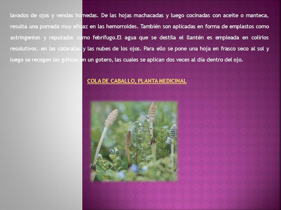 COLA DE CABALLO, PLANTA MEDICINAL