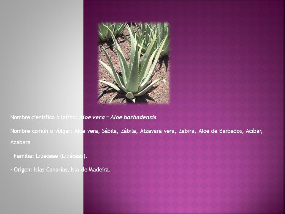 Nombre científico o latino: Aloe vera = Aloe barbadensis