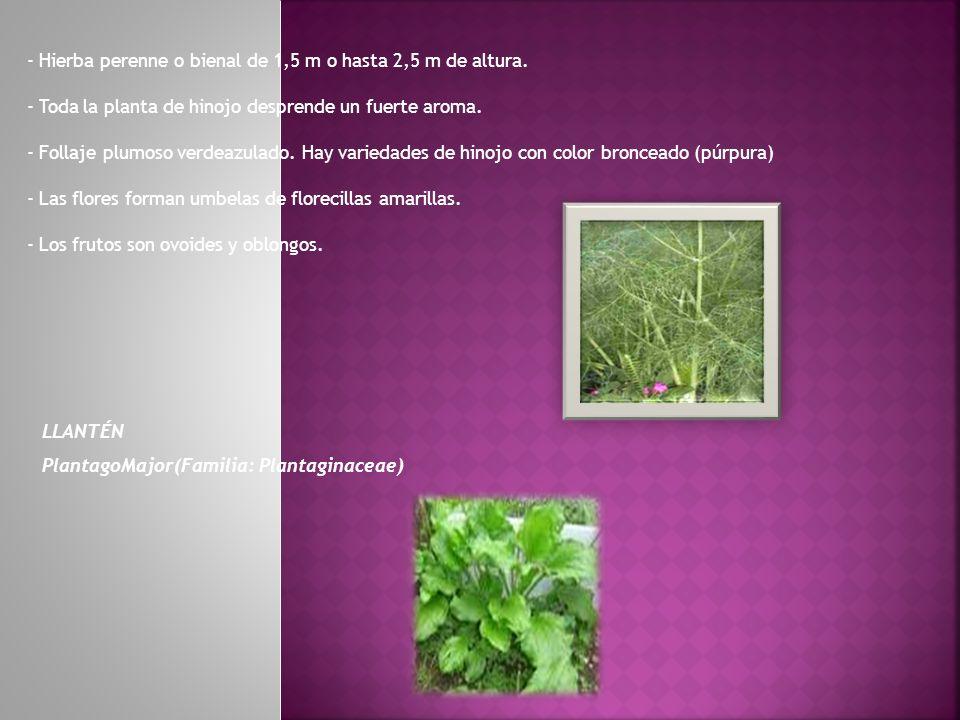 - Hierba perenne o bienal de 1,5 m o hasta 2,5 m de altura.