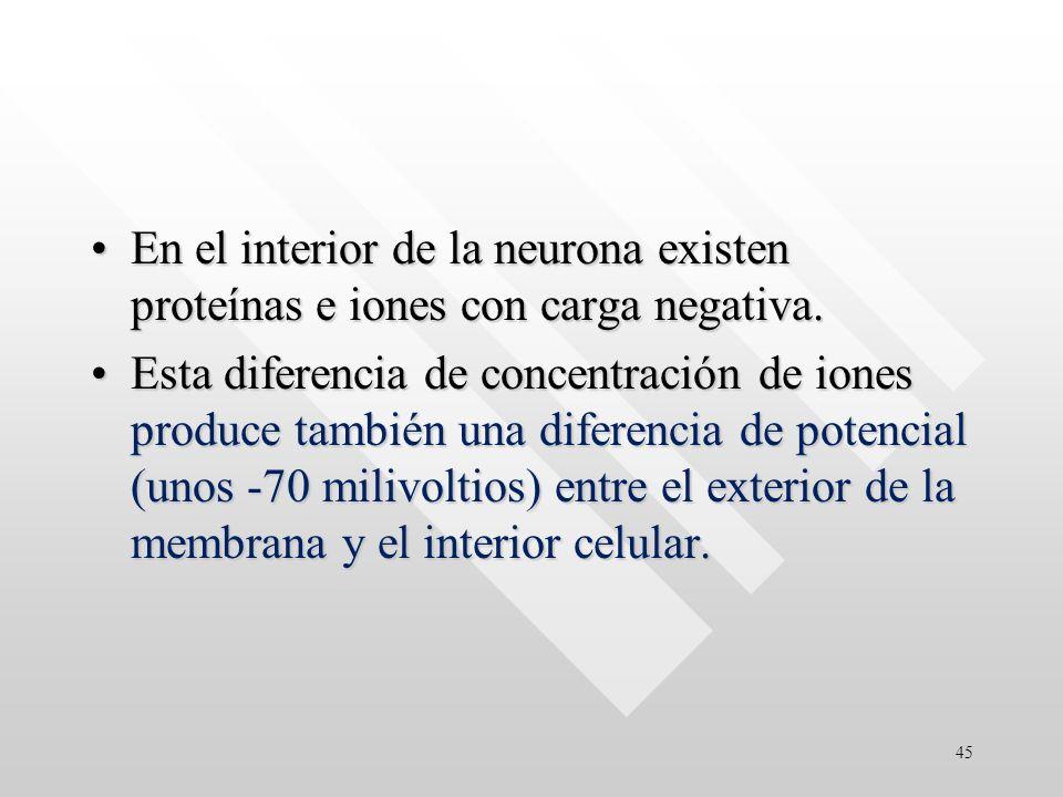 En el interior de la neurona existen proteínas e iones con carga negativa.