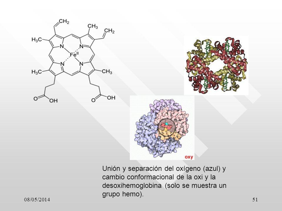 Unión y separación del oxígeno (azul) y cambio conformacional de la oxi y la desoxihemoglobina (solo se muestra un grupo hemo).
