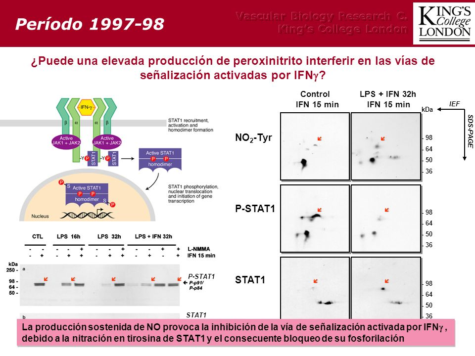 Período 1997-98 Vascular Biology Research C. King's College London.