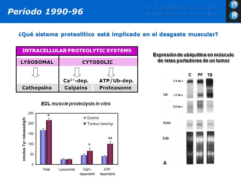 ¿Qué sistema proteolítico está implicado en el desgaste muscular