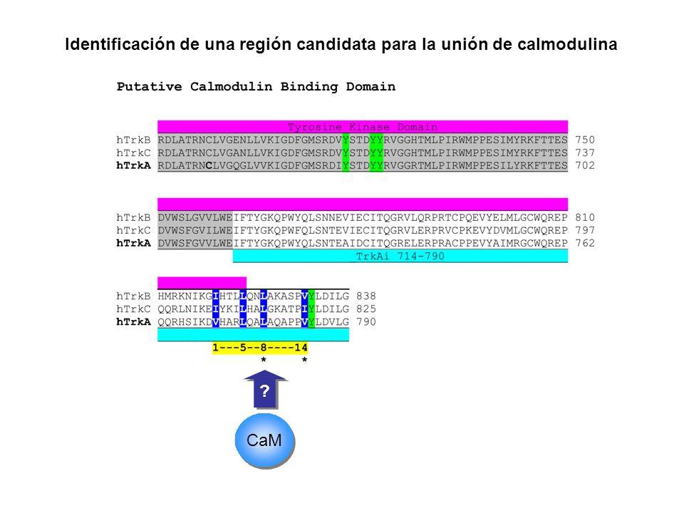 Identificación de una región candidata para la unión de calmodulina
