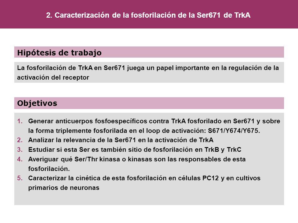 2. Caracterización de la fosforilación de la Ser671 de TrkA