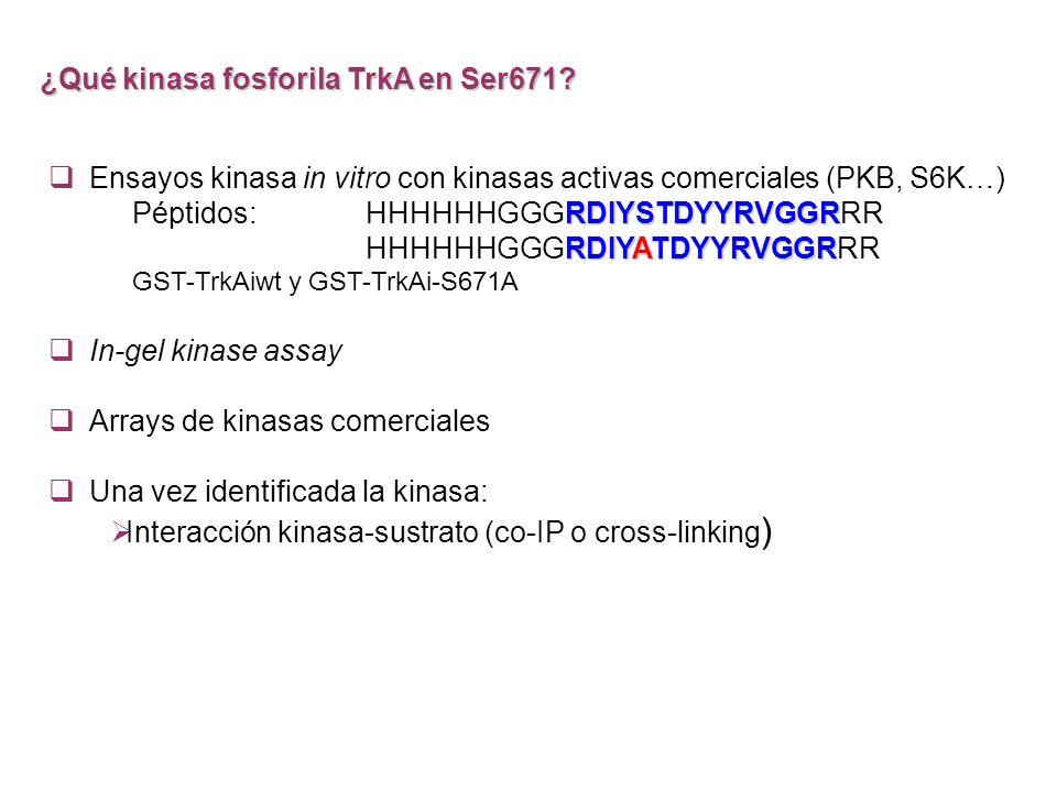 ¿Qué kinasa fosforila TrkA en Ser671