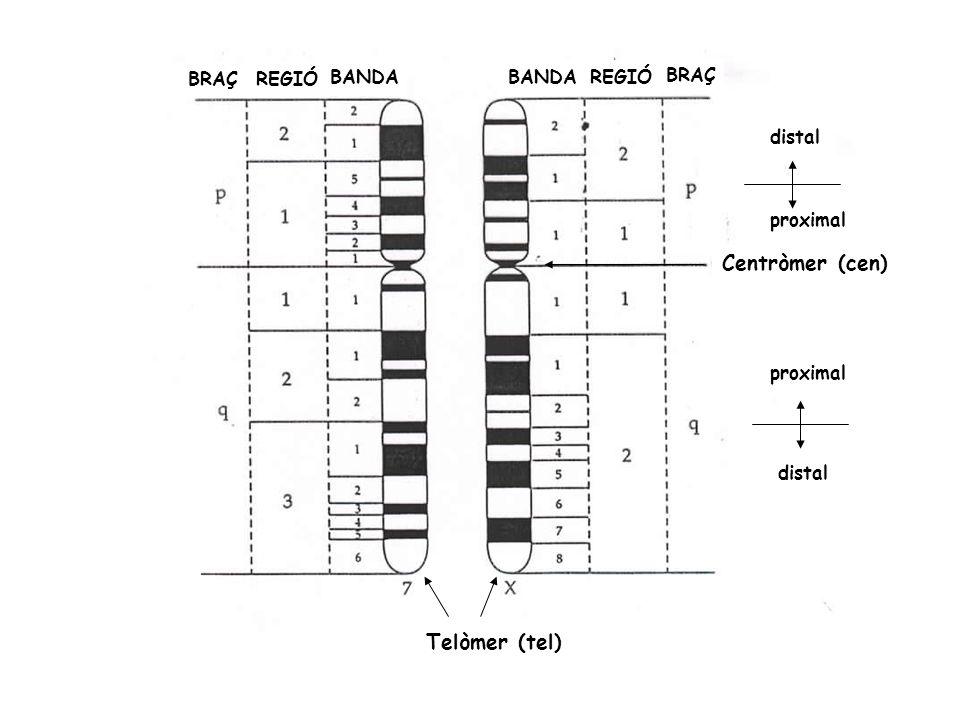 Centròmer (cen) Telòmer (tel) BRAÇ REGIÓ BANDA BANDA REGIÓ BRAÇ distal