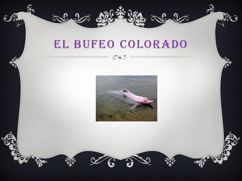 El bufeo colorado