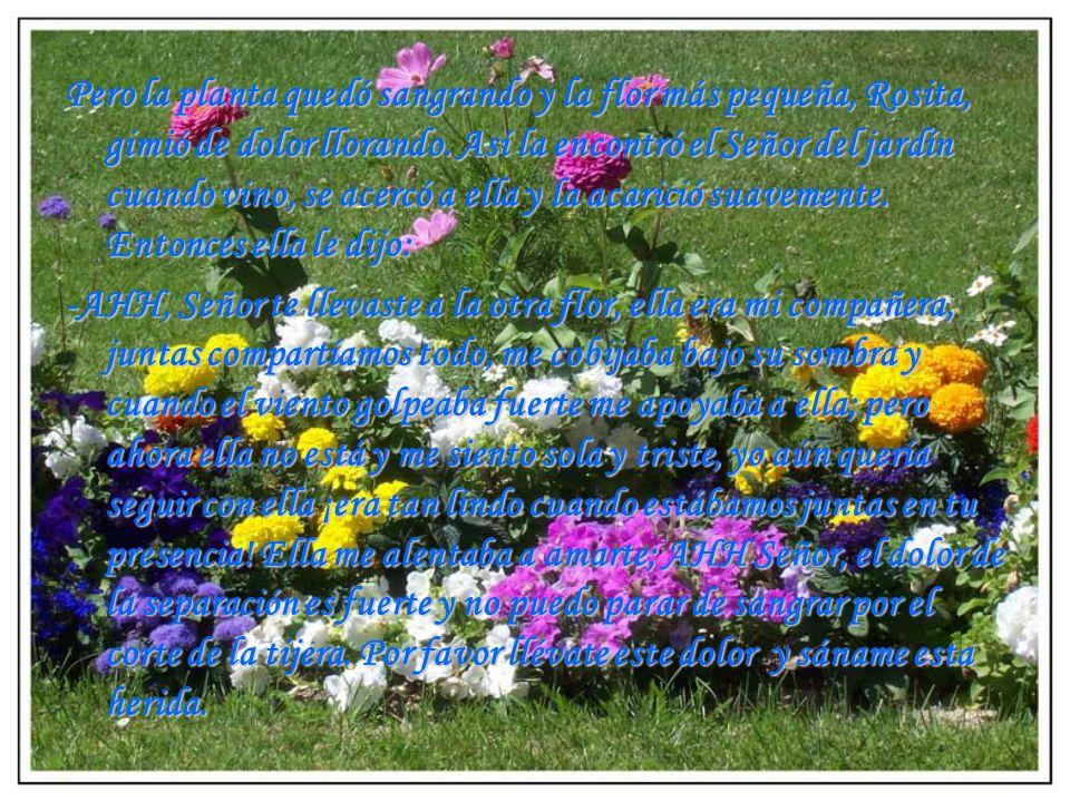 Pero la planta quedó sangrando y la flor más pequeña, Rosita, gimió de dolor llorando. Así la encontró el Señor del jardín cuando vino, se acercó a ella y la acarició suavemente. Entonces ella le dijo: