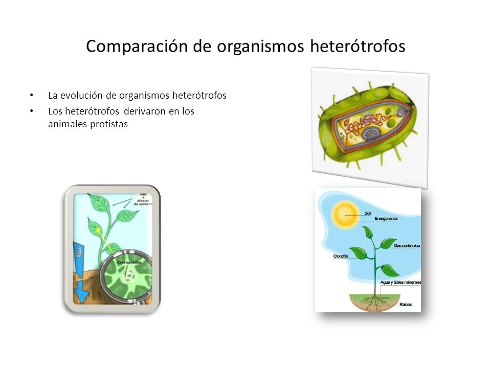Comparación de organismos heterótrofos
