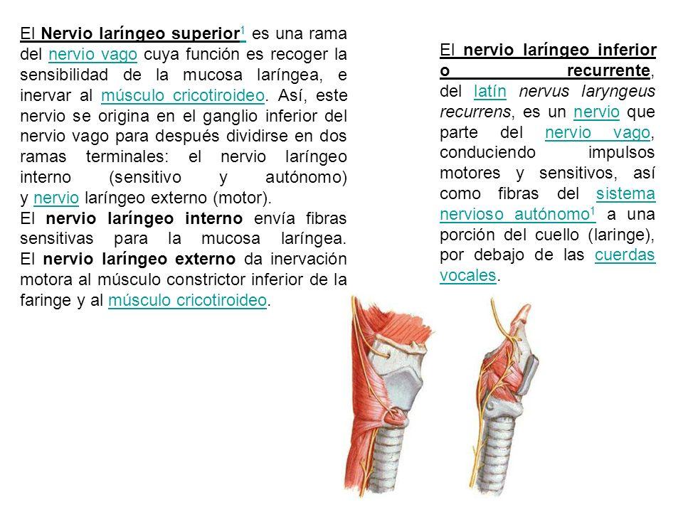 El Nervio laríngeo superior1 es una rama del nervio vago cuya función es recoger la sensibilidad de la mucosa laríngea, e inervar al músculo cricotiroideo. Así, este nervio se origina en el ganglio inferior del nervio vago para después dividirse en dos ramas terminales: el nervio laríngeo interno (sensitivo y autónomo) y nervio laríngeo externo (motor).