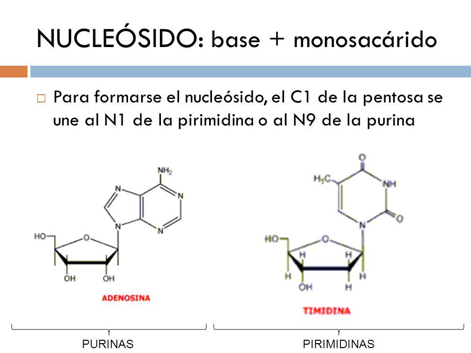 NUCLEÓSIDO: base + monosacárido
