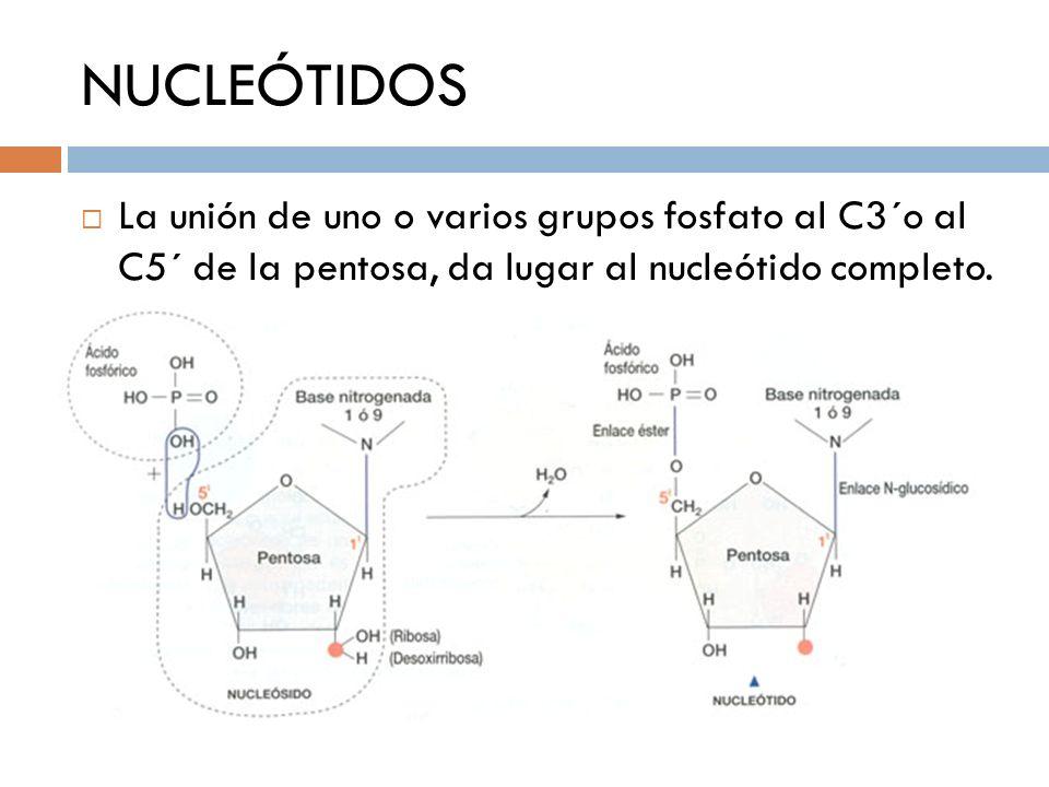 NUCLEÓTIDOSLa unión de uno o varios grupos fosfato al C3´o al C5´ de la pentosa, da lugar al nucleótido completo.