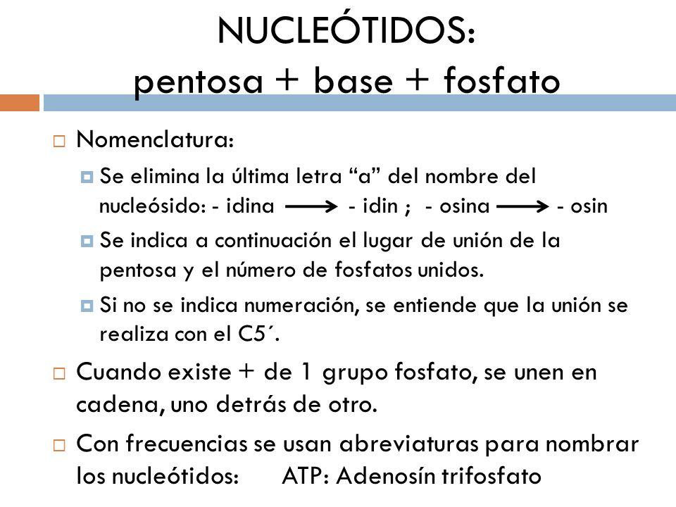 NUCLEÓTIDOS: pentosa + base + fosfato