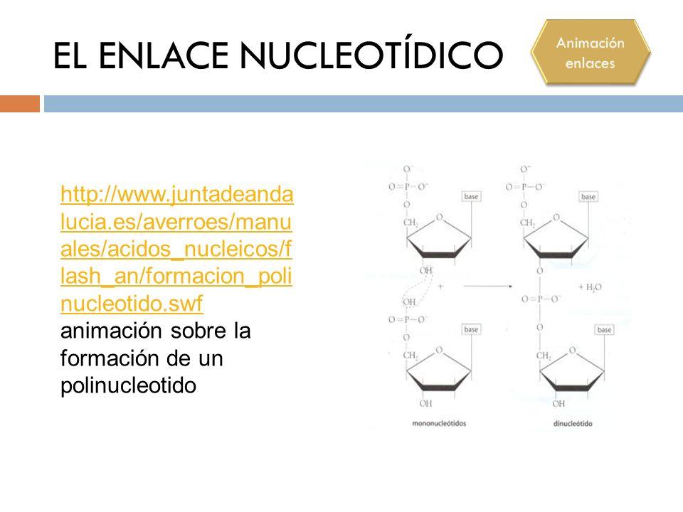 EL ENLACE NUCLEOTÍDICO