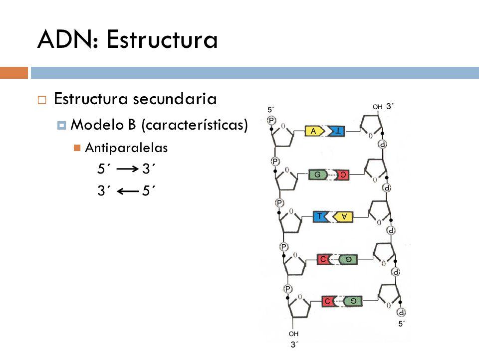 ADN: Estructura Estructura secundaria Modelo B (características) 5´ 3´