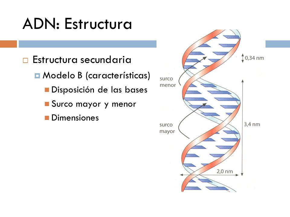 ADN: Estructura Estructura secundaria Modelo B (características)
