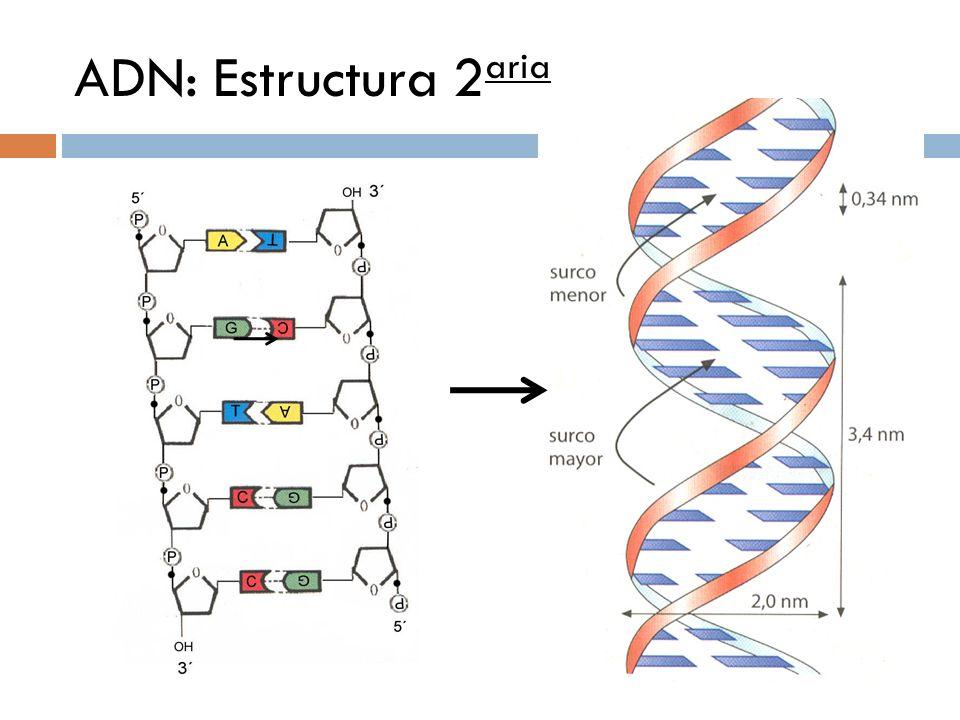 ADN: Estructura 2aria