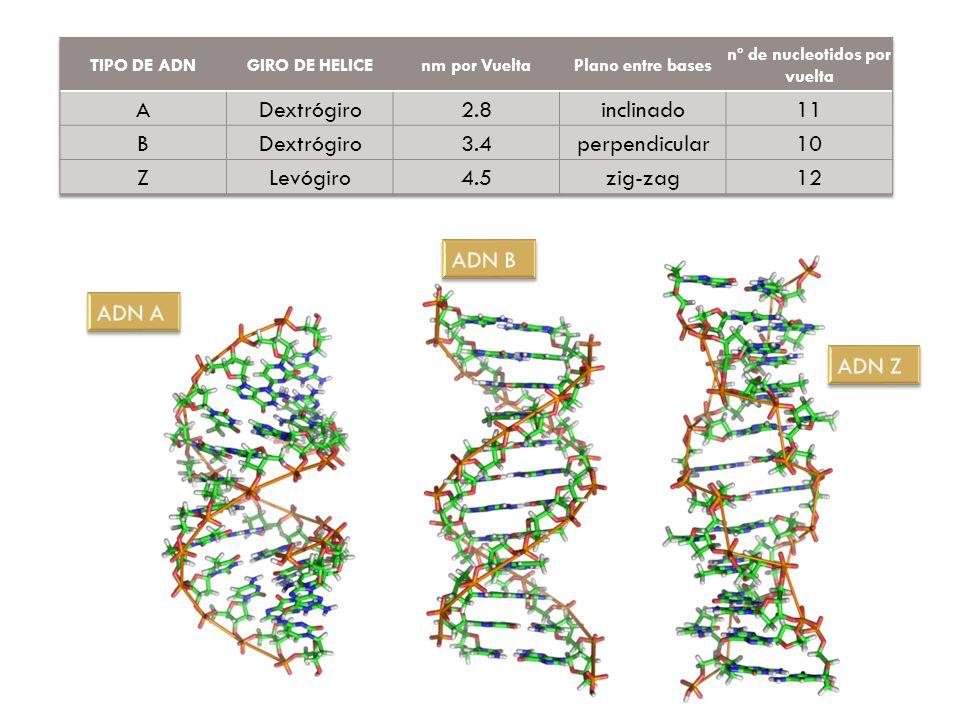 nº de nucleotidos por vuelta