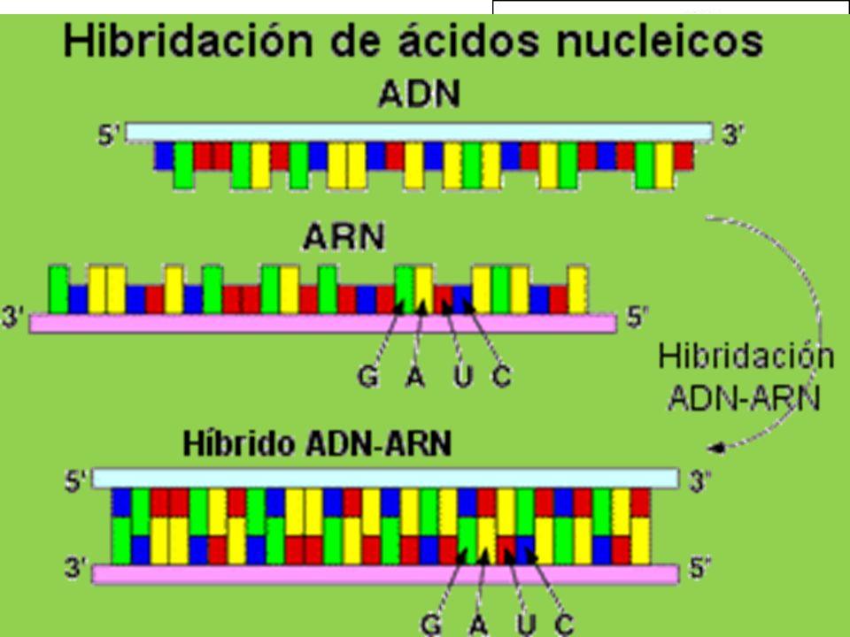 ADN: Propiedades Desnaturalización: +/- 100ºC Factores Tª, pH, sales