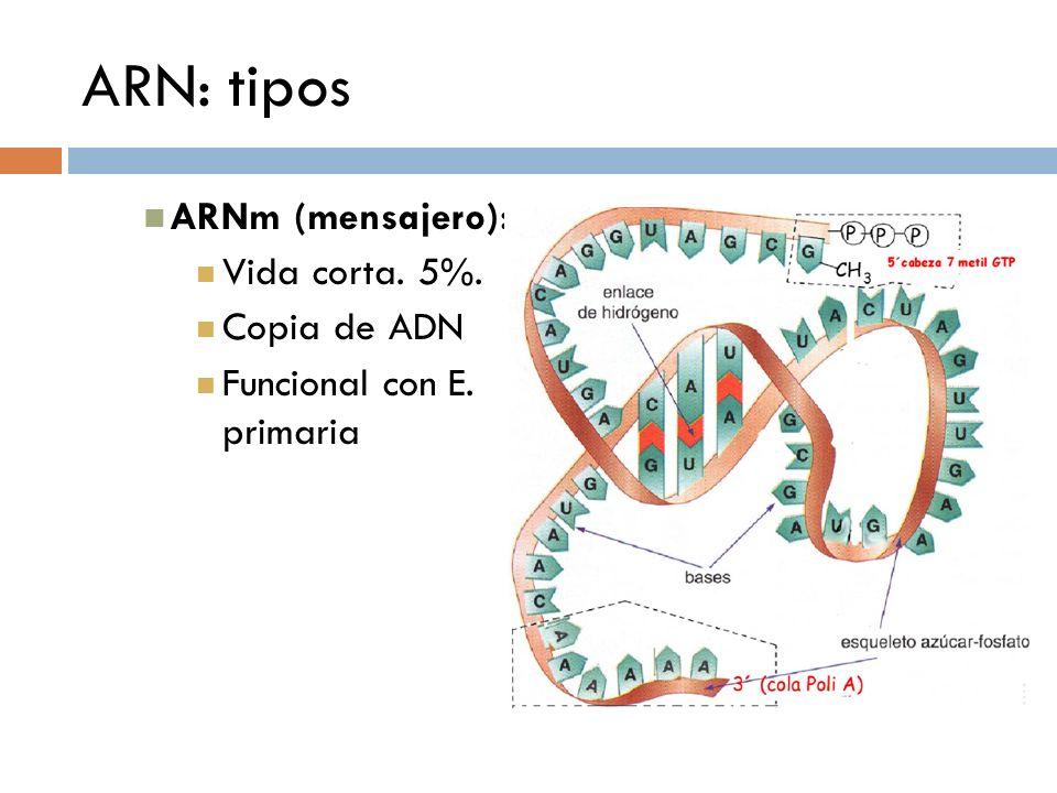 ARN: tipos ARNm (mensajero): Vida corta. 5%. Copia de ADN