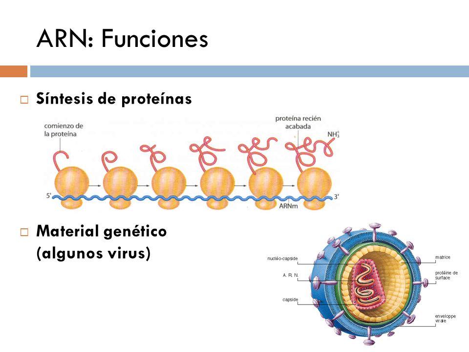 ARN: Funciones Síntesis de proteínas Material genético (algunos virus)