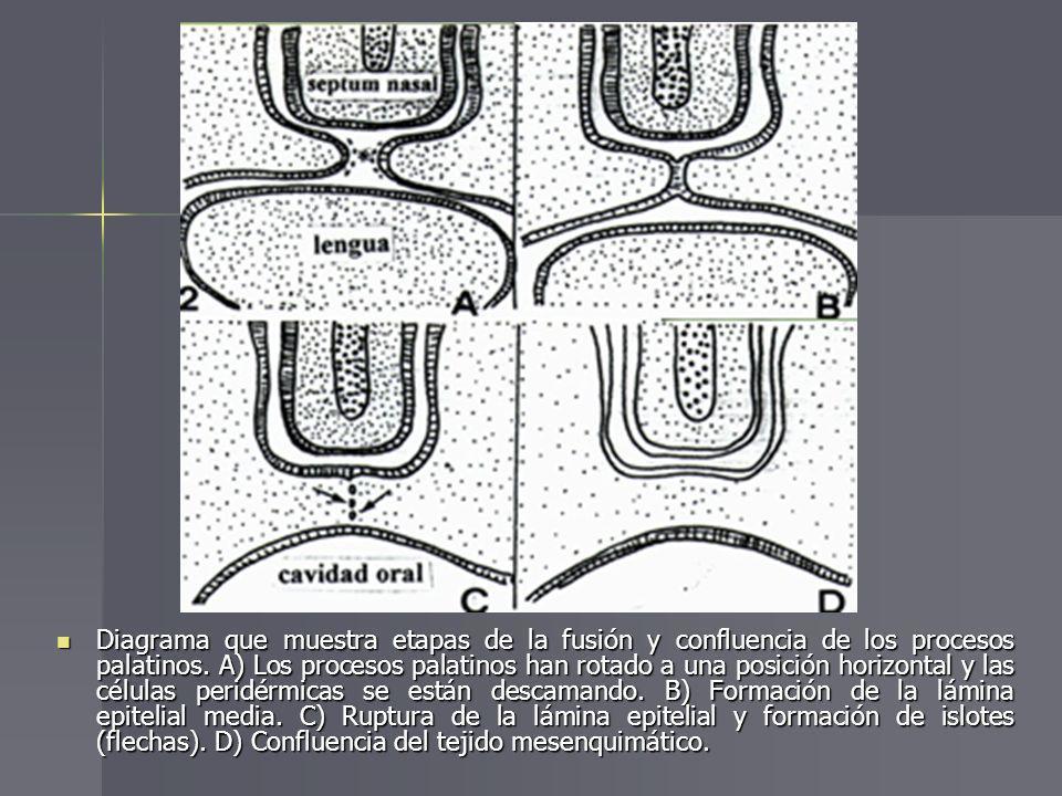 Diagrama que muestra etapas de la fusión y confluencia de los procesos palatinos.
