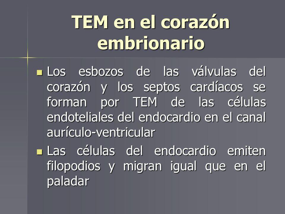 TEM en el corazón embrionario