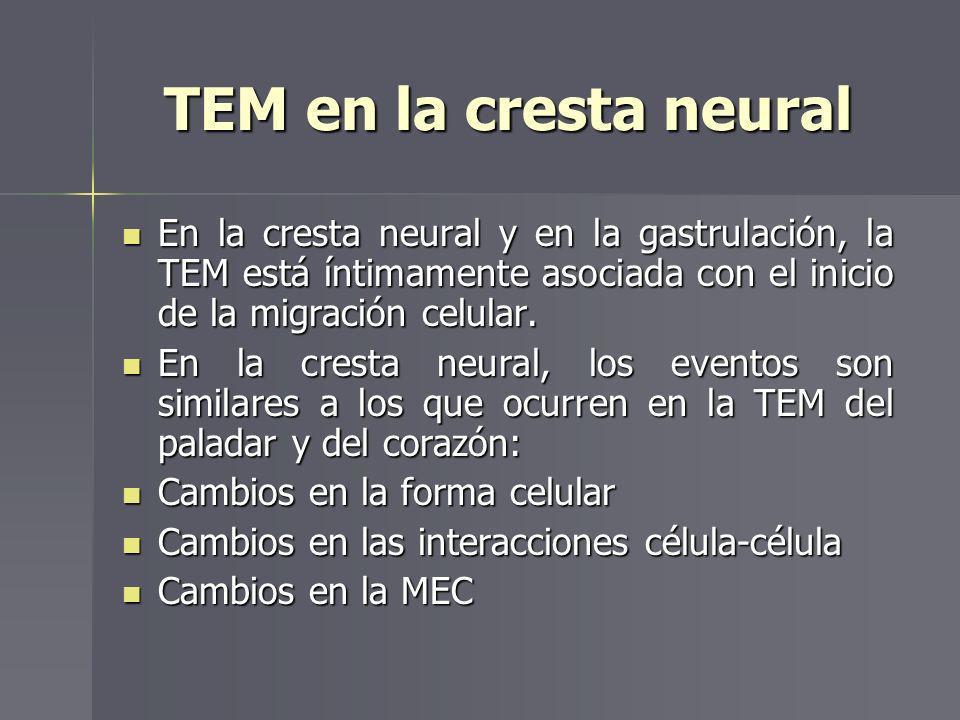 TEM en la cresta neural En la cresta neural y en la gastrulación, la TEM está íntimamente asociada con el inicio de la migración celular.