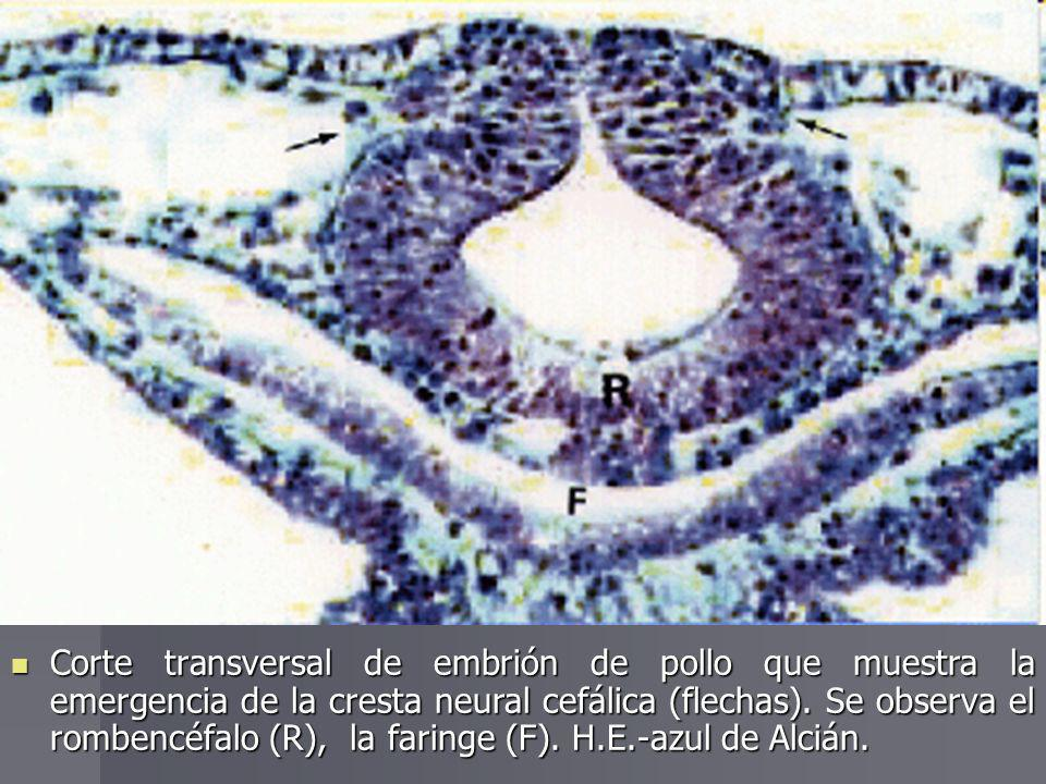 Corte transversal de embrión de pollo que muestra la emergencia de la cresta neural cefálica (flechas).