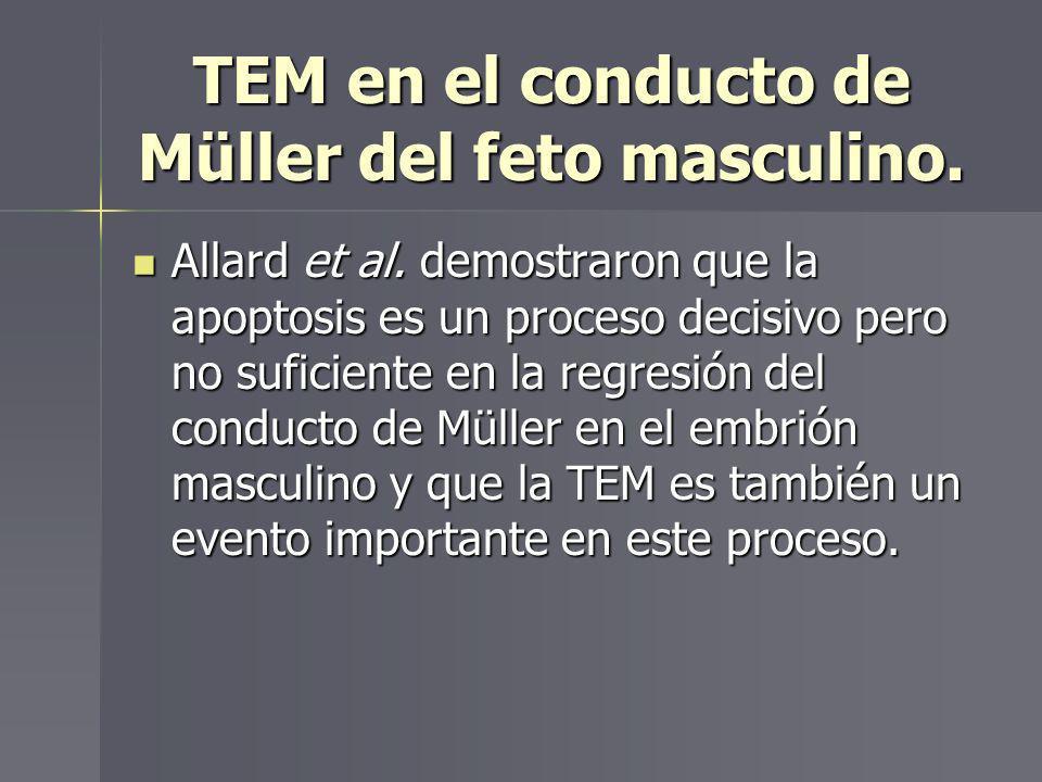 TEM en el conducto de Müller del feto masculino.