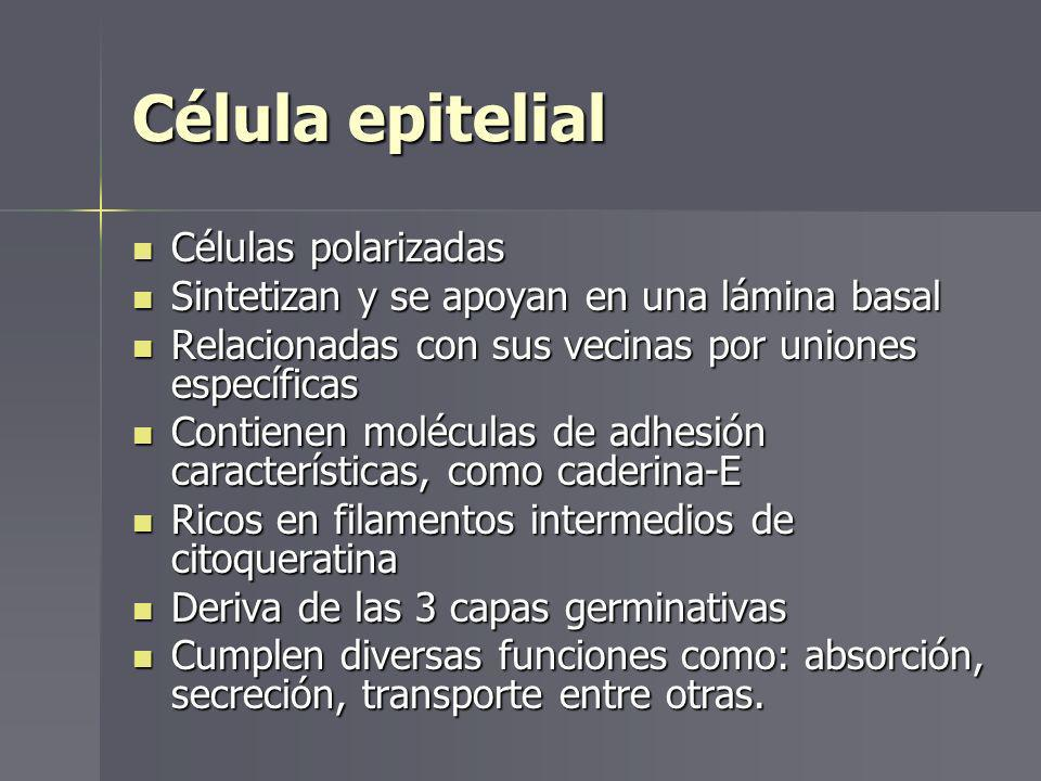 Célula epitelial Células polarizadas