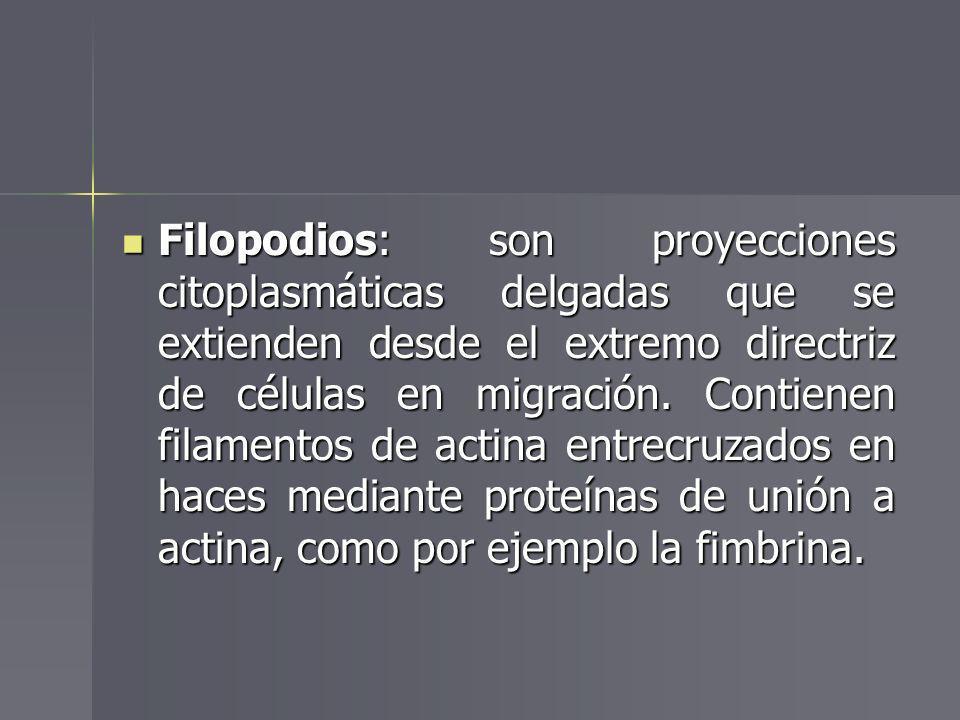 Filopodios: son proyecciones citoplasmáticas delgadas que se extienden desde el extremo directriz de células en migración.