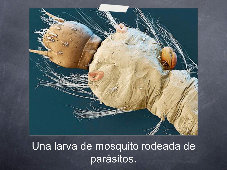 Una larva de mosquito rodeada de parásitos.