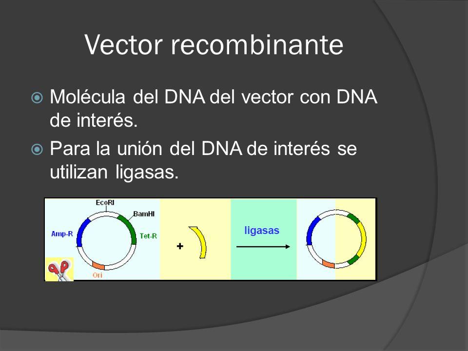 Vector recombinante Molécula del DNA del vector con DNA de interés.