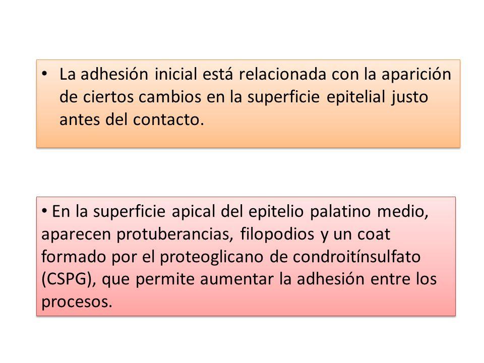 La adhesión inicial está relacionada con la aparición de ciertos cambios en la superficie epitelial justo antes del contacto.