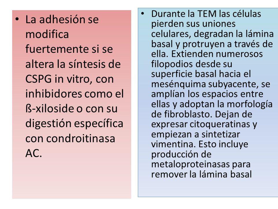 Durante la TEM las células pierden sus uniones celulares, degradan la lámina basal y protruyen a través de ella. Extienden numerosos filopodios desde su superficie basal hacia el mesénquima subyacente, se amplían los espacios entre ellas y adoptan la morfología de fibroblasto. Dejan de expresar citoqueratinas y empiezan a sintetizar vimentina. Esto incluye producción de metaloproteinasas para remover la lámina basal