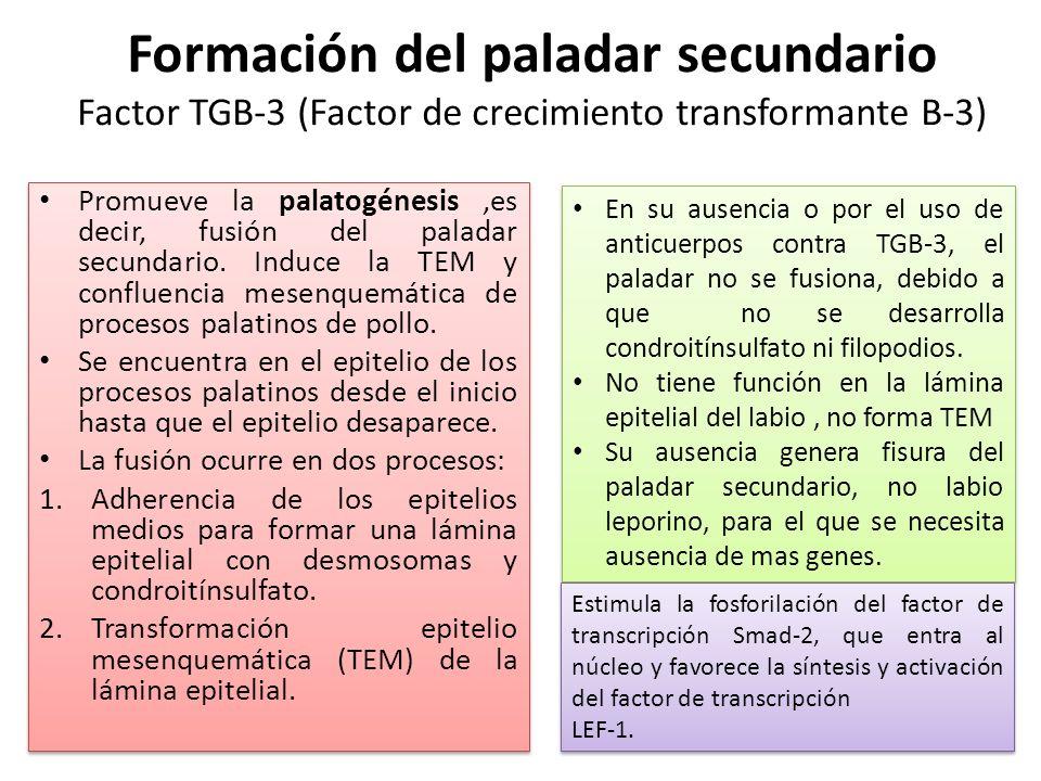 Formación del paladar secundario Factor TGB-3 (Factor de crecimiento transformante B-3)